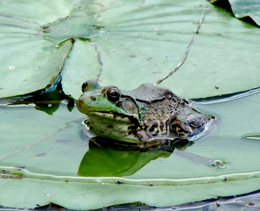 Green Frog (2009)