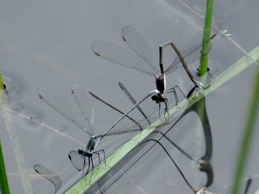 Swamp Spreadwings