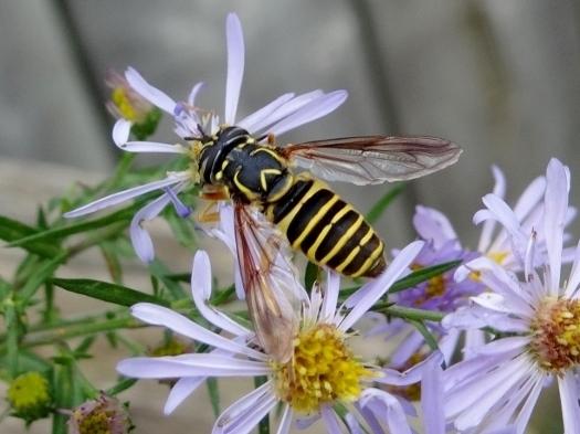 Hover fly (Spilomyia longicornis)
