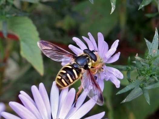 Backyard Hover Flies | The Pathless Wood