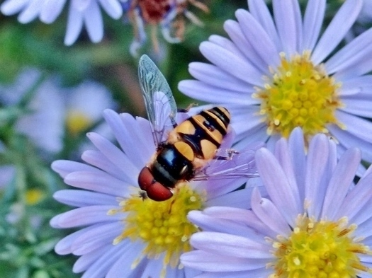 Syrphid sp.