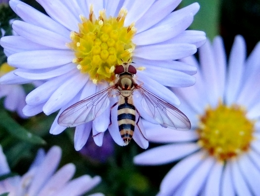 Hover Fly sp.