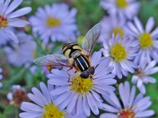 Hover fly (Helophilus sp.)