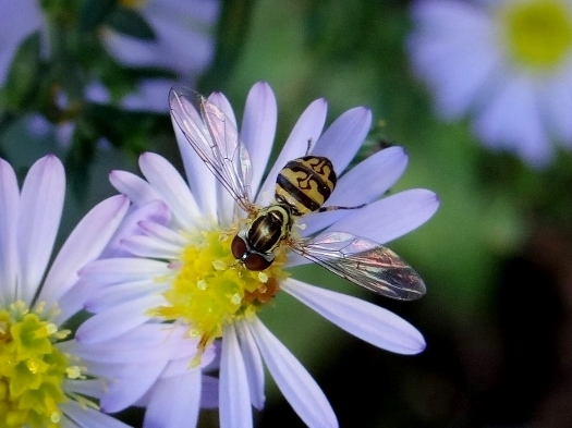 Hover fly (Toxomerus geminatus)