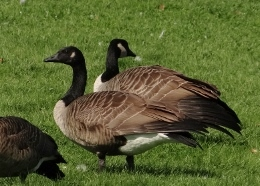 Hundreds of Canada Geese stage in Ottawa during fall migration,