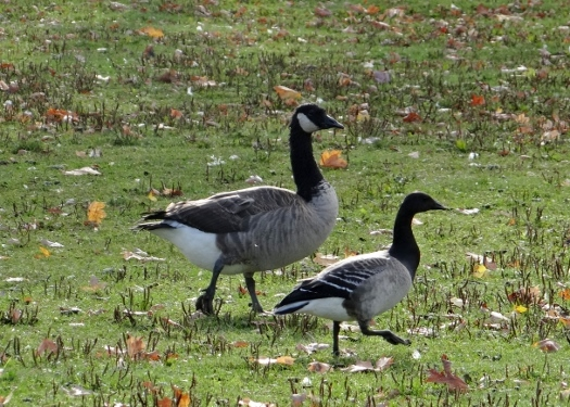 Brant with Canada Goose