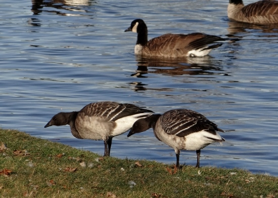 Brant Geese