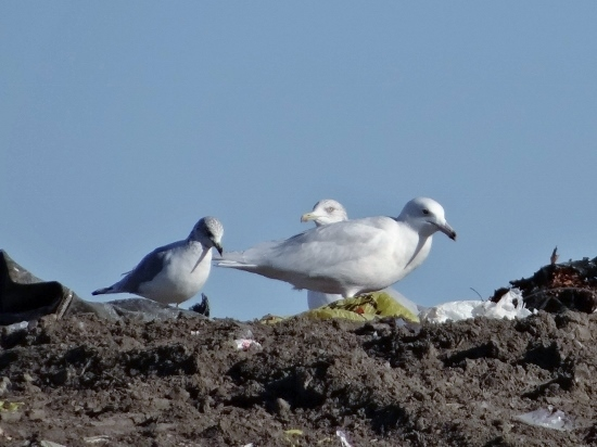 Three Gull Species