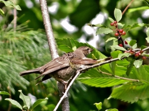 American Redstart feeding Juvenile Cowbird