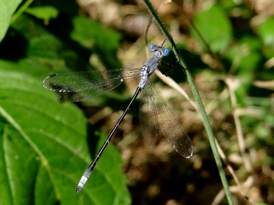 Northern/Sweetflag Spreadwing