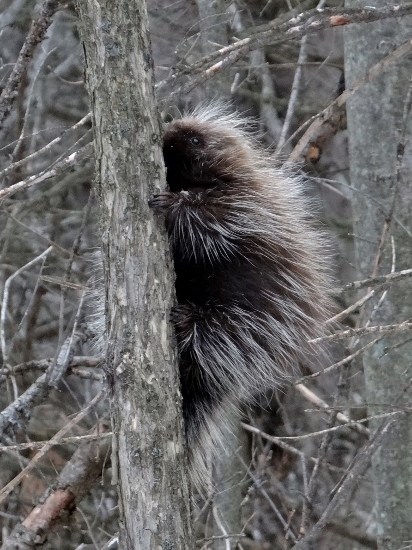 Porcupine - Sarsaparilla Trail