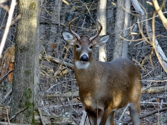 White-tailed Deer - Jack Pine Trail