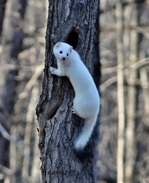 Short-tailed Weasel - Jack Pine Trail