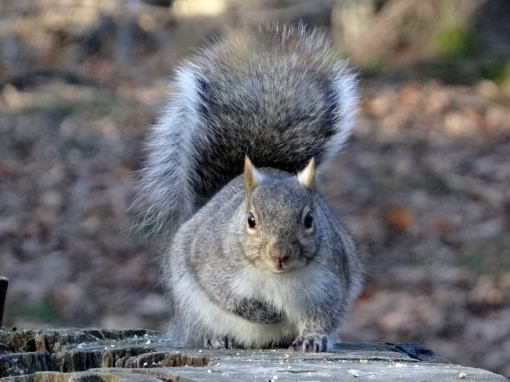 Eastern Gray Squirrel - Jack Pine Trail