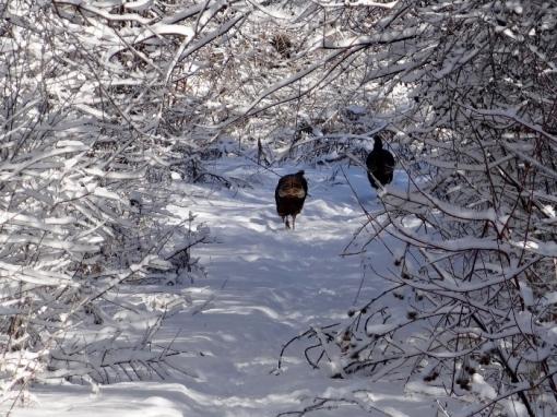 Wild Turkeys on the Trail