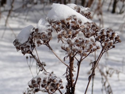Ice-encrusted Tansy