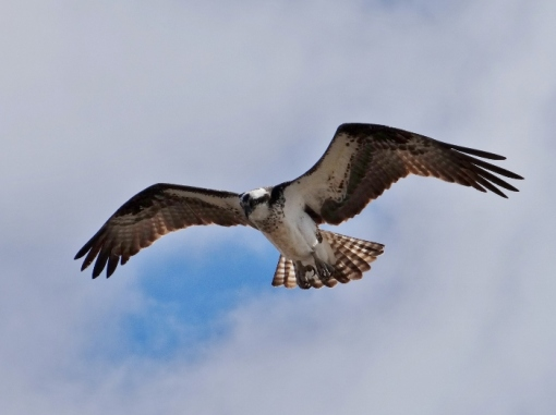 Osprey (Click to Enlarge)