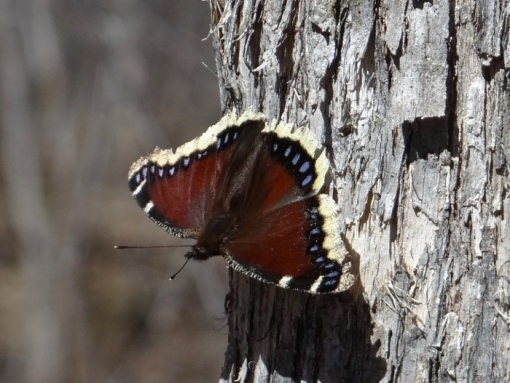 Mourning Cloak (Click to Enlarge)
