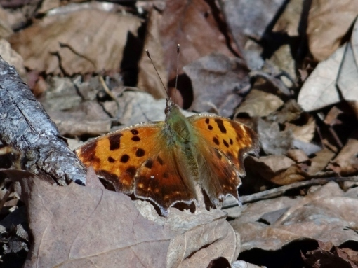 Eastern Comma (Click to Enlarge)