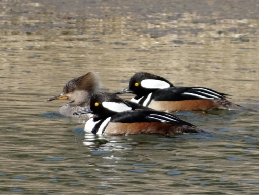 Hooded Mergansers (Click to Enlarge)