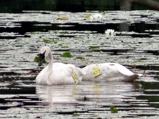 Trumpeter Swans Wrigley Lake, 2014