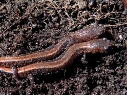 Eastern Red-backed Salamanders
