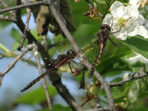 Male and Female Baskettails