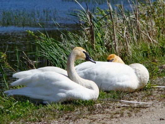 Untagged Trumpeter Swans Luther Marsh 2010