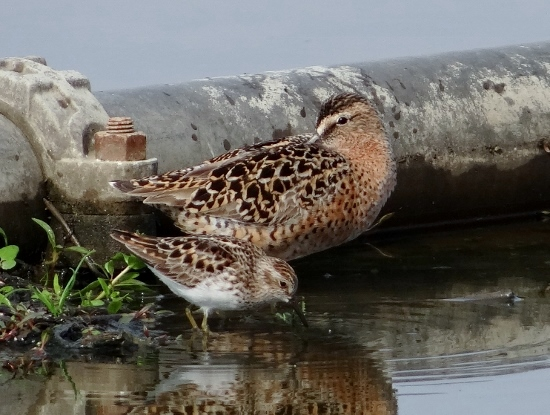 Short-billed Dowitcher and Least Sandpiper
