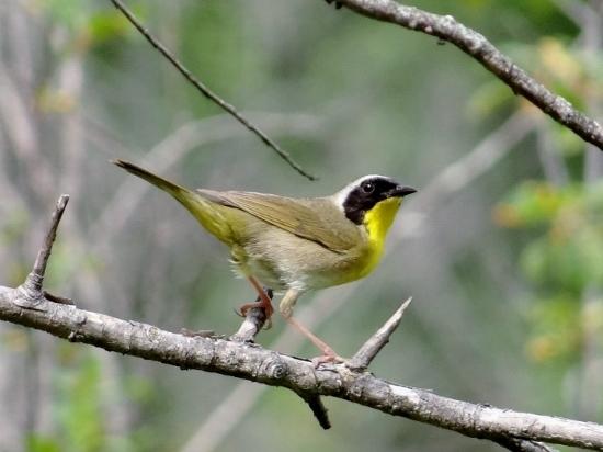 Yellowthroat umum