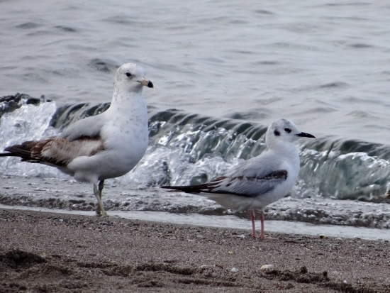 Ring-billed and Bonaparte's Gulls at the Tip