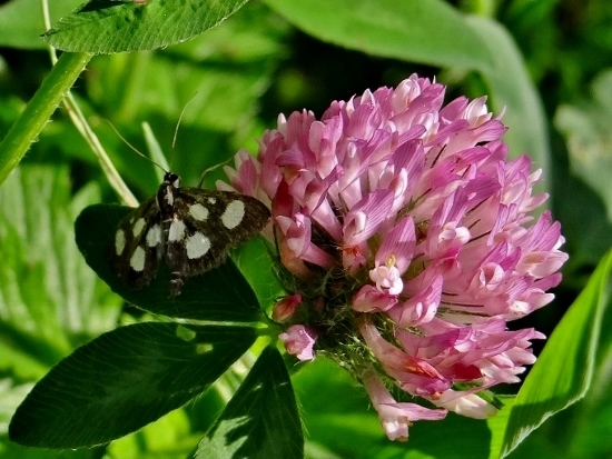 White-spotted Sable on Red Clover