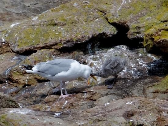 Herring Gull with chick
