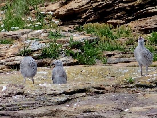 Herring Gull chicks