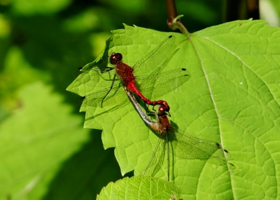 Meadowhawks in mating wheel