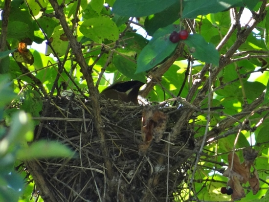 Cedar Waxwing on Nest