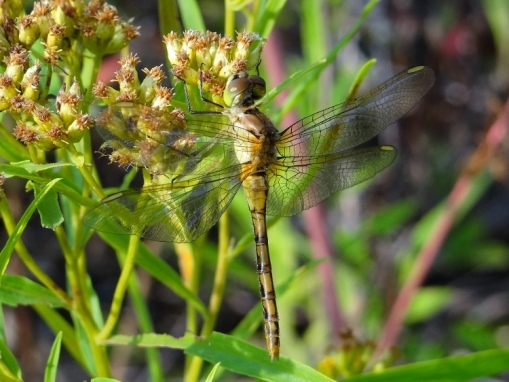 Saffron-winged Meadowhawk (click to enlarge)