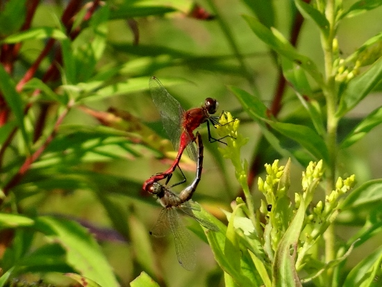 White-faced Meadowhawks
