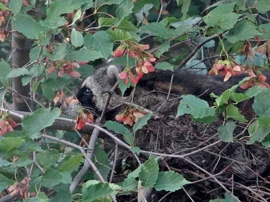 Raccoon Napping