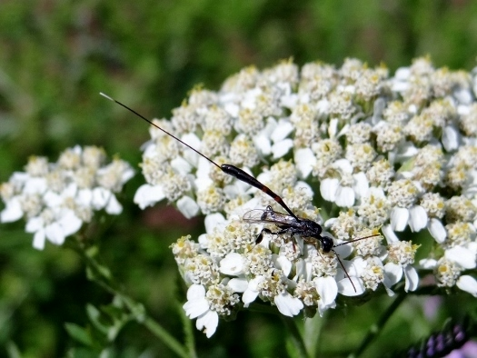 Probable Ichneumon wasp