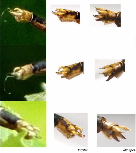 Arigomphus appendages (by Ed Lam)
