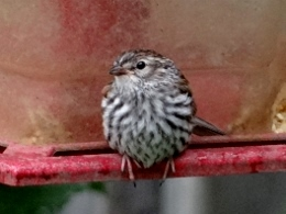 Chipping Sparrow (Juvenile)