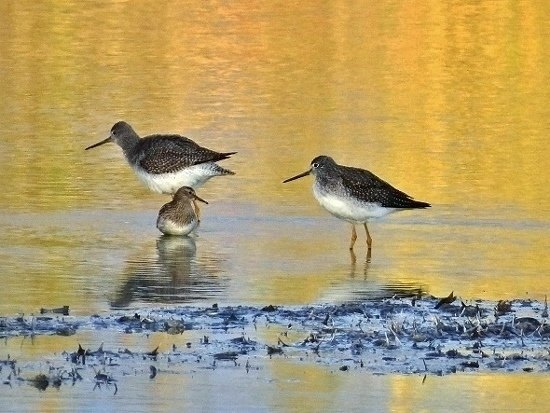 Pectoral Sandpiper with Greater Yellowlegs