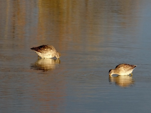 Long- and Short-billed Dowitchers
