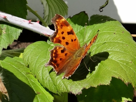 Eastern Comma (Winter Form)