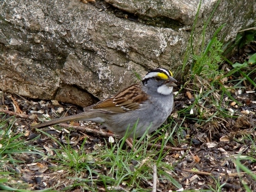 White-throated Sparrow (2008)