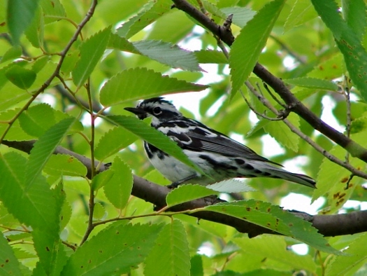 Black-and-white Warbler (2007)