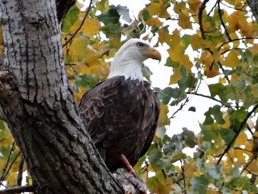 Bald Eagle xxx