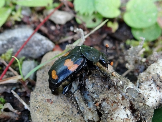 Roundneck Sexton Beetle (Nicrophorus orbicollis)