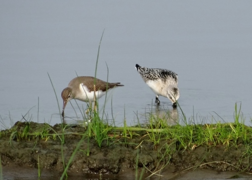 Sanderling with Spotted Sandpiper